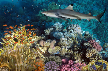 colorful underwater coral reef and big angry hungry shark