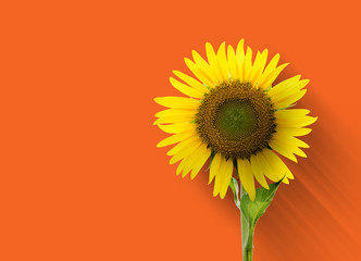 Sunflower on orange background with clipping path