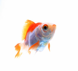 Oranda goldfish isolated on white, high quality studio shot manu