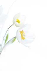Two white flowers on isolated background