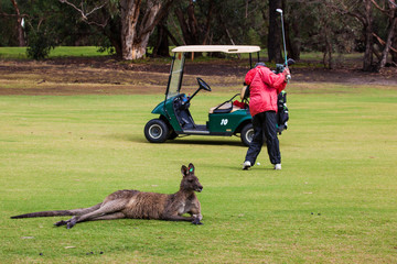 Kangaroo on the golf course, Australia
