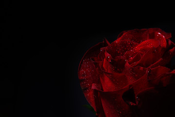 Close up of red rose with dramatic lighting on black background