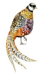Watercolor pheasant.
