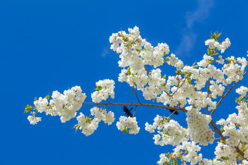 Branch blooming tree on blue sky.  Spring blossom background
