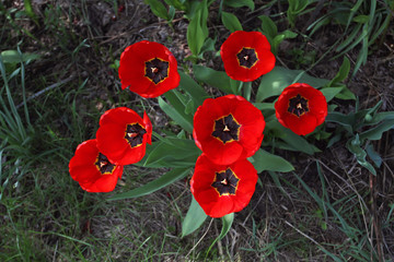 Group of bright red tulips with black midway bloom in spring on