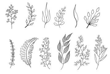 Foliage, ink drawing, botanical illustration