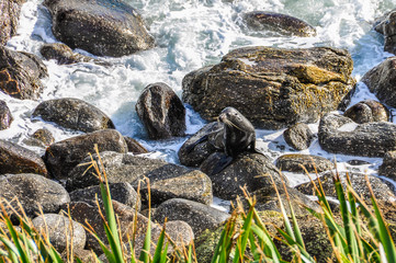 Seals on a rock in Cape Foulwind, New Zealand