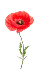 single red poppy isolated on white