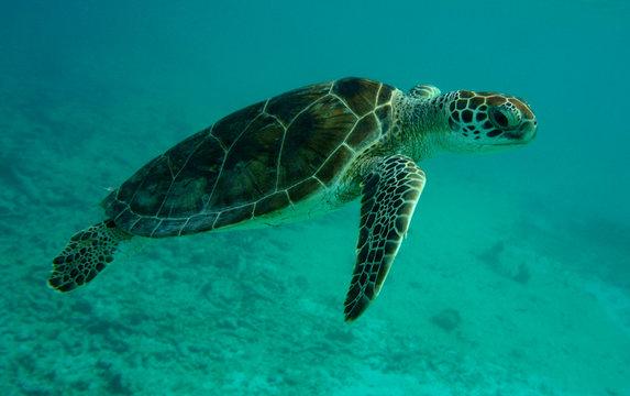 Turtle of Akumal