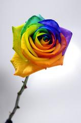Fototapete - Rainbow rose or happy flower