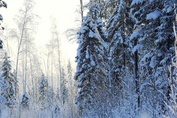 winter cold day fir forest landscape