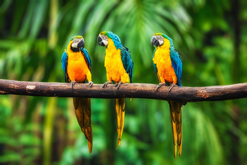 Photo sur Toile Perroquets Blue-and-Yellow Macaw in forest