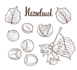 Set of detailed hand drawn hazelnuts isolated on white background. Vector illustration.