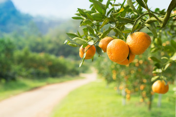Orange tree in orange farm