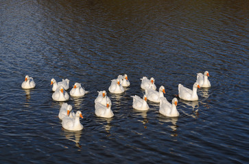 A flock of geese floating on the river in the setting sun towards the photographer