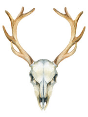 Deer skull. Animal skull isolated on white background.