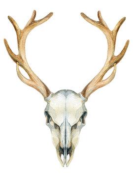 Deer skull. Animal skull isolated on white background.