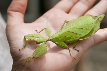 Gray's Leaf Insect on hand