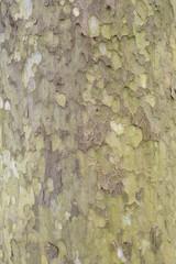 Tree bark of a Sycamore tree.