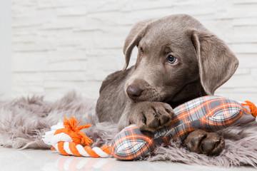Super słodki pies szczeniak z zabawkami