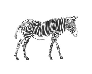 zebra, black and white illustration