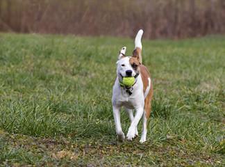 Boxer Labrador Terrier mixed breed dog chasing a ball