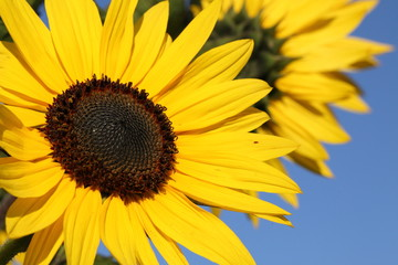 sunflowers with blue sky as background