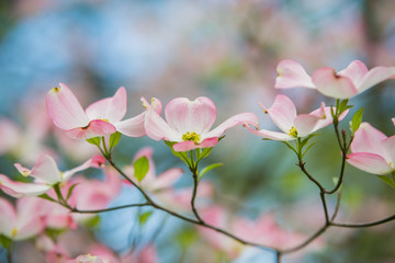 Pink Dogwoods in Bloom with blue sky
