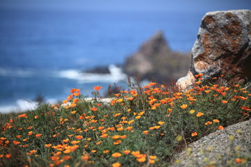 California poppy field, Big Sur, California, USA