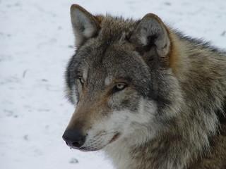 Winter bei den Wölfen