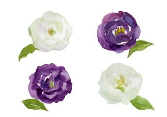 紫と白のトルコキキョウ 水彩イラスト