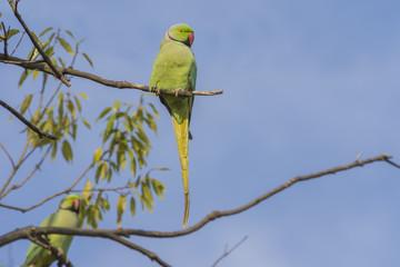 鮮やかな黄緑のワカケホンセイインコ