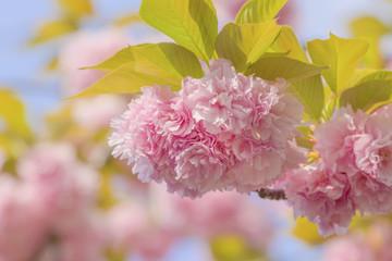 里桜のアップ