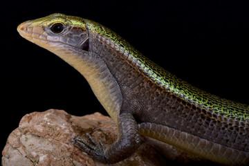 Green Madagascar girdled lizard (Zonosaurus haraldmeieri)