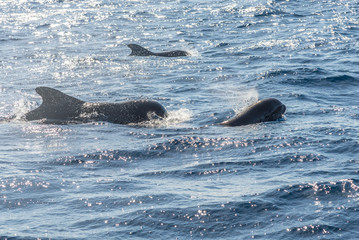 Pilot whales near the coast of La Gomera. The Oceano whale watching operator on La Gomera stands for respectful whale watching. Respectful, close and exciting encounters with dolphins and whales