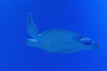 sea turtle swimming in blue water