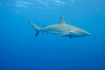 White Shark underwater Cuba caribbean sea