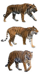 set of three tigers isolated on white