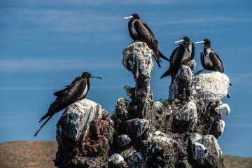 Frigate birds on a  rock