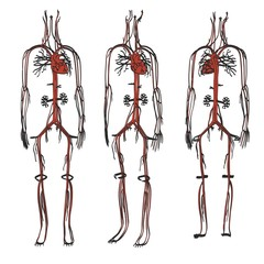 2d cartoon illustration of circulatory system