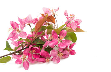 pink flowers of apple isolated