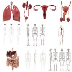 3d renderings of human organs set