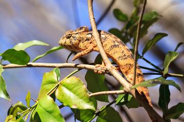 Beautiful camouflaged chameleon in Madagascar, presumably the Oustalet's or Malagasy giant chameleon (Furcifer oustaleti)