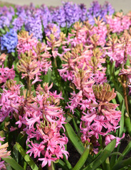 Pink and purple hyacinth. Springtime photo
