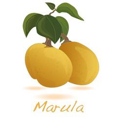 Marula fruit.  Vector.
