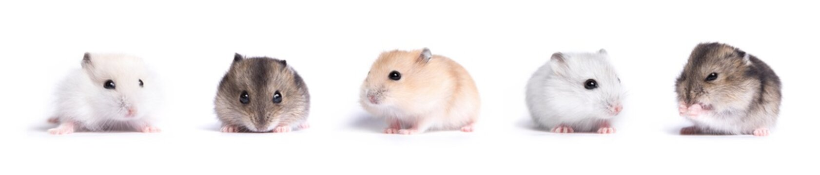 collection of Jungar hamster on a white background