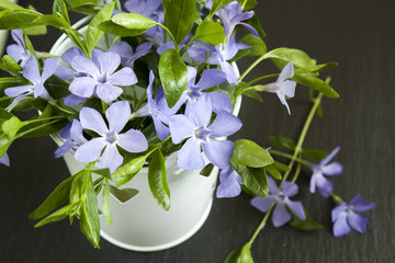 Bucket with beautiful blue periwinkle and green shoots