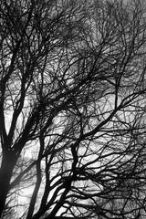 ветвистые деревья