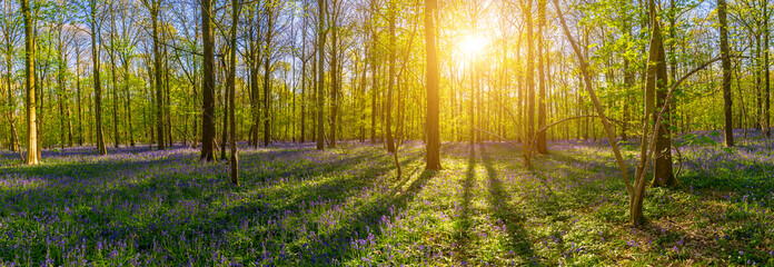 Bluebells Fairy Tale Forest in sunrise light panorama