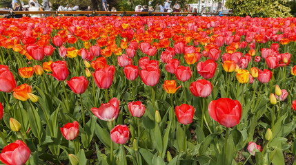 Tulips in the gardens of Vienna.Austria
